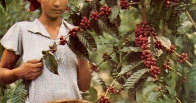 Los chalatecos en las cortas de café